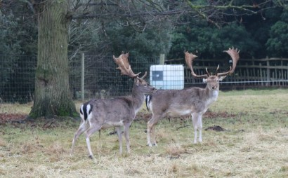 Deer spotting at Charlecote Park